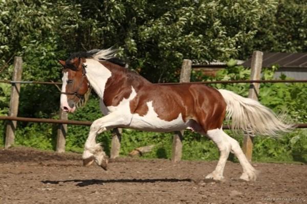 Лошадь пегая