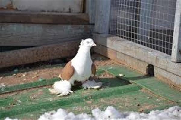 Северокавказские бойные голуби фото