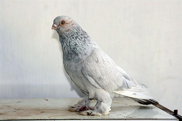 Таджикские бойные голуби фото