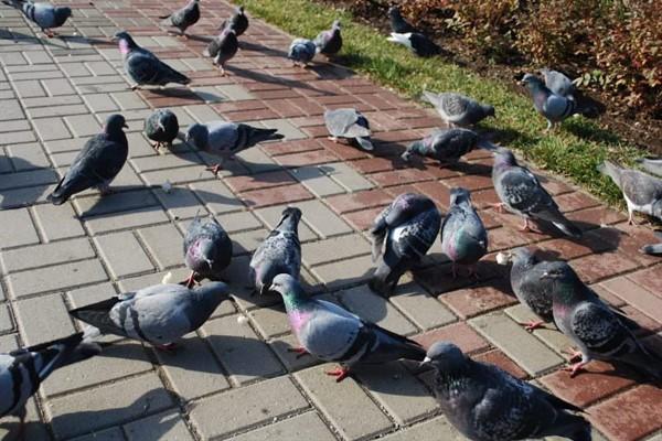 Влияние факторов на длительность жизни голубей