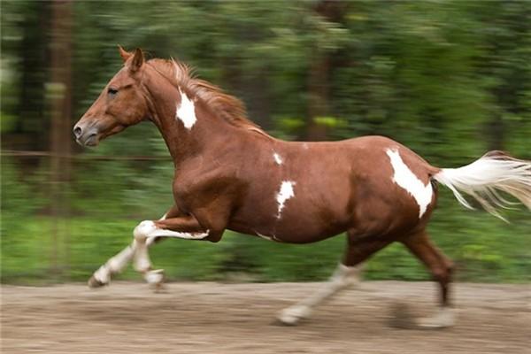 Внешние данные лошади пегая