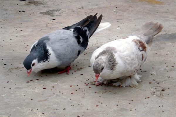 Что едят голуби на улице