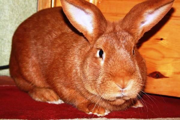 Декоративный мясной кроль