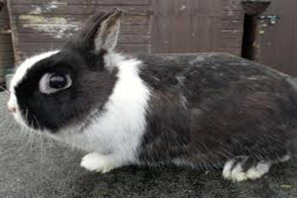 Голандский кроль