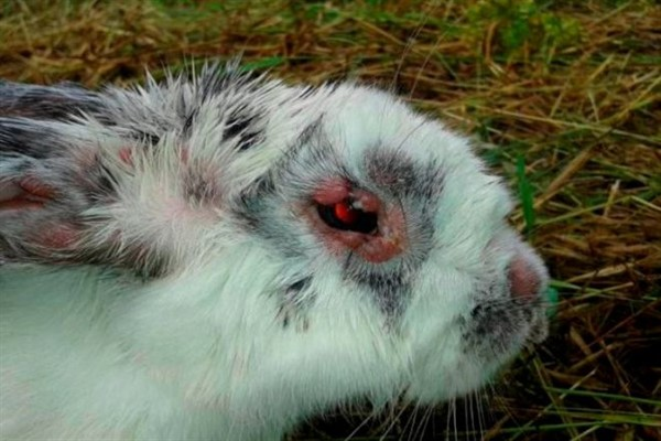 Миксоматоз у кролей
