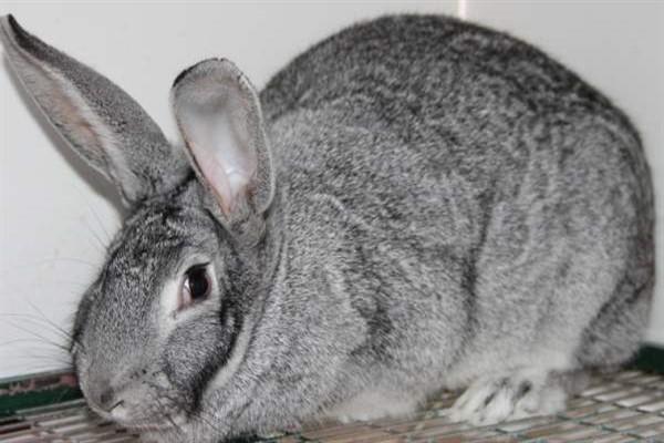Шиншилла кролик