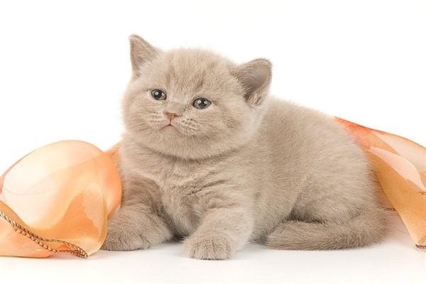 Лиловый цвет котенка