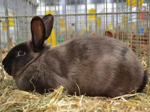 Порода мясных кролей