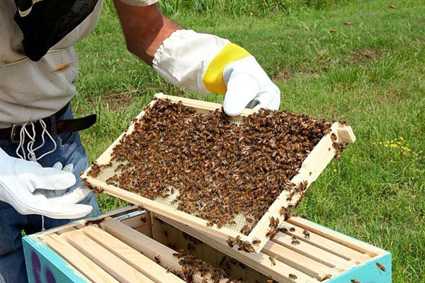 Пчелы для пасеки