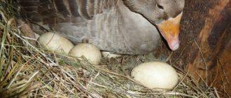 Продолжительность высиживания гусиных яиц