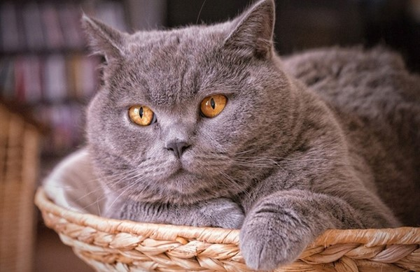 Полное описание породы кошек британская шиншилла