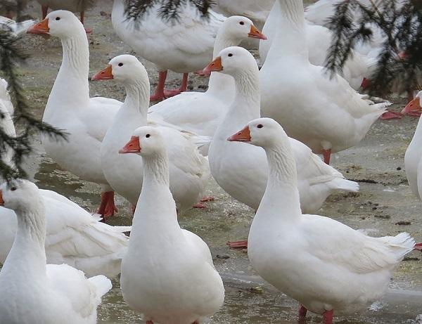 Про губернаторскую породу гусей