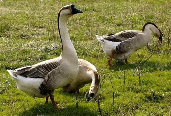 Порода гусей