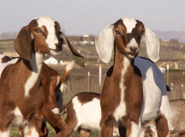 Нубийские козы описание породы фото цена