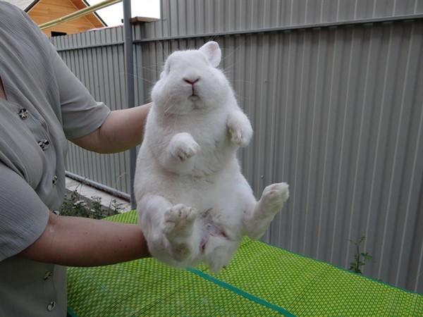 Как узнать пол кролика
