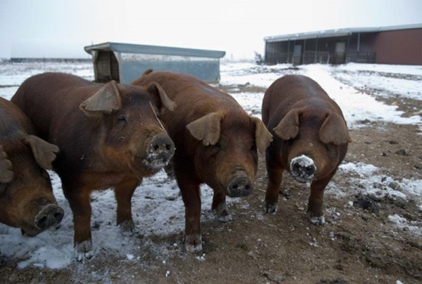 История свиноводства
