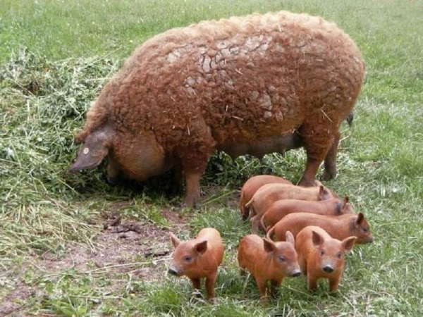 Мясная порода