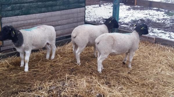 Цена на овец