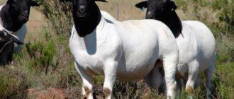 Порода домашних овец