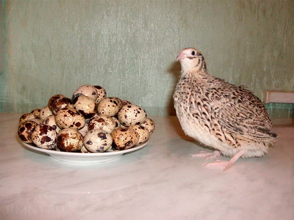 Яйценоские птички