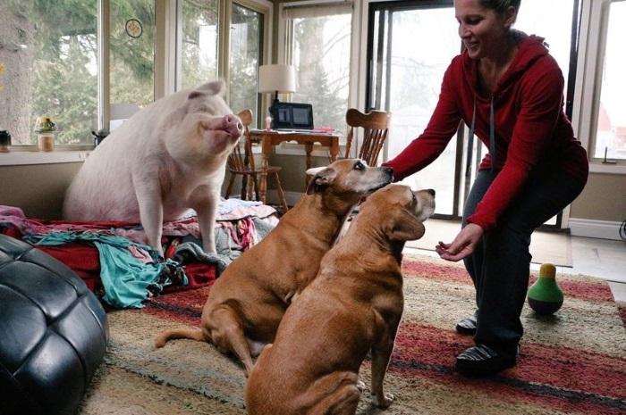 Свинья умнее собаки
