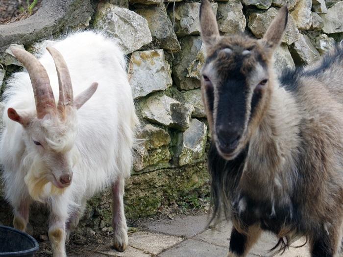 Беременность козы