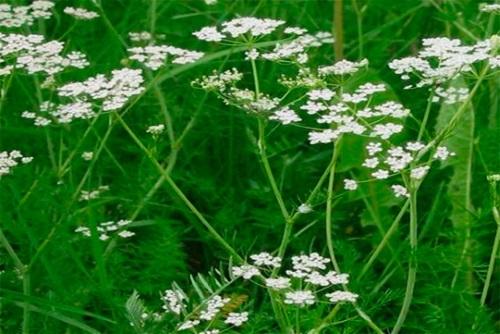 Однолетнее растение