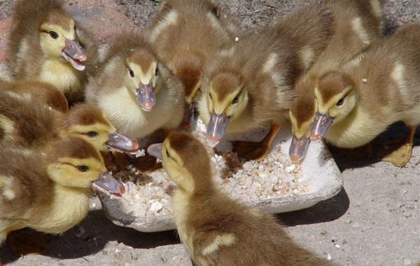 У индоуток выживает больше 90% цыплят