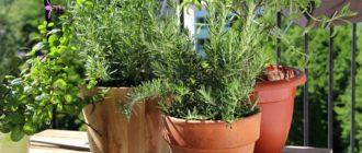 Выращивание розмарина