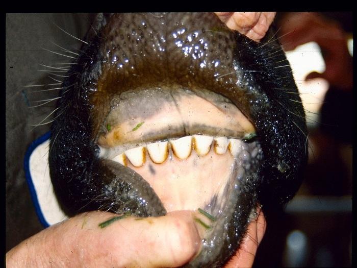У коров челюсть