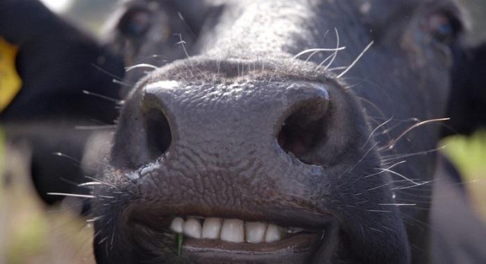 Строение челюсти коровы