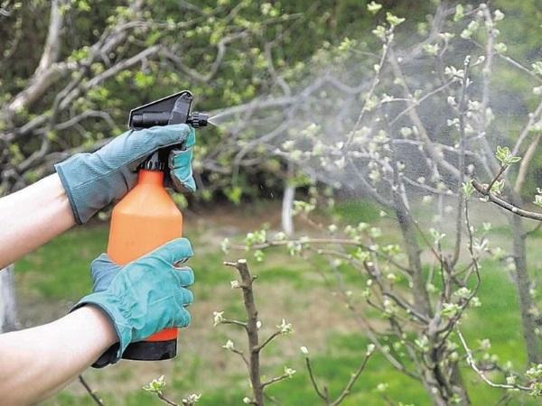 Подкармливают деревья три раза
