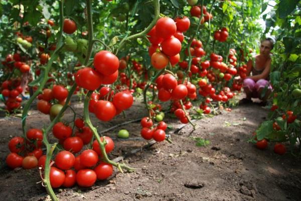 Во время высаживания томатов