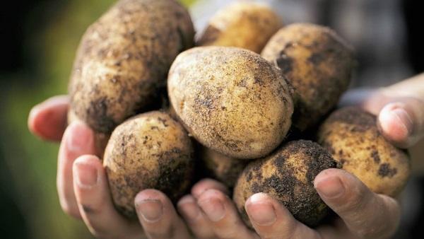 Под картофель