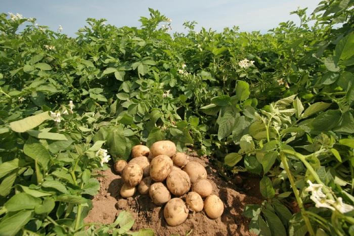 Картошку подкармливают