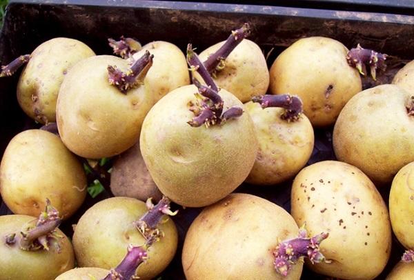 Для защиты картофеля от фитофтороза