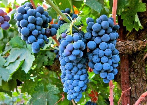 При выращивании виноградной лозы