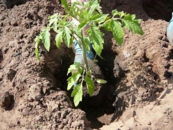 посадка томатов в теплице что положить