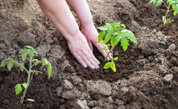 Схема посадки помидоров в теплицу
