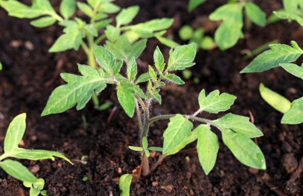 При выращивании помидор