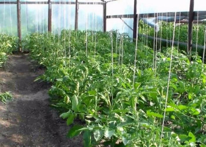 Хорошо поднимает урожайность томатов