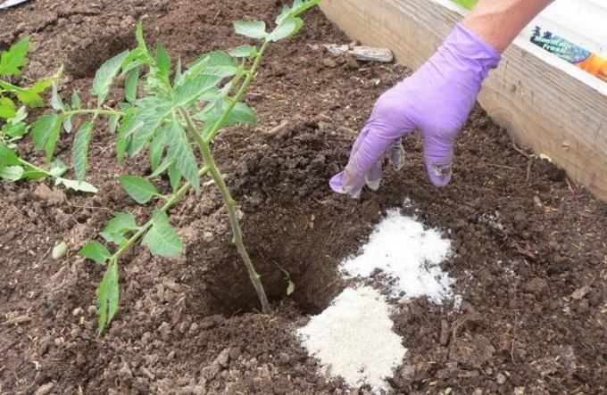 При рассаживании томатной рассады