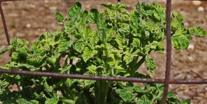 Для выращивания томатов