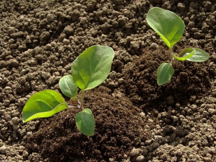 Правильное выращивание баклажанной рассады