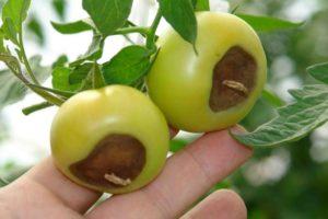 Вершинная гниль на помидорах