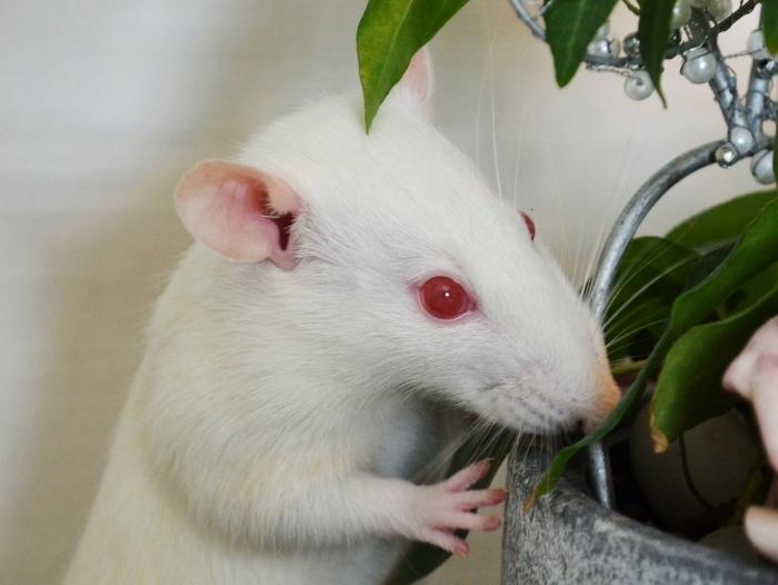 Сколько живут крысы альбиносы
