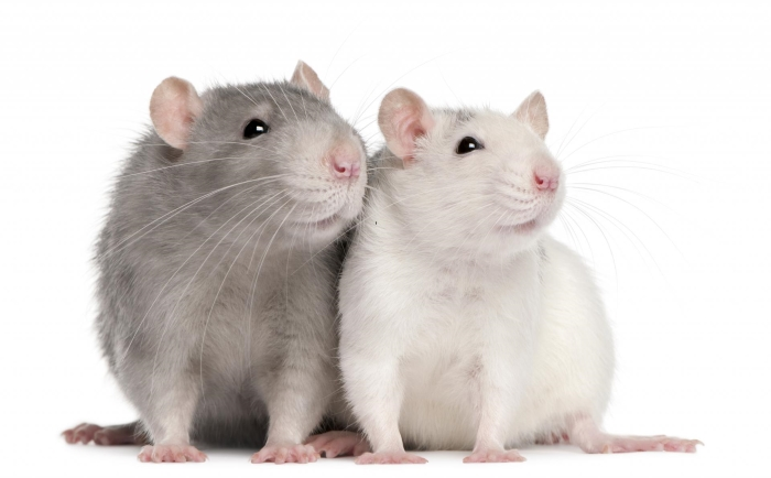 Сколько живут крысы дамбо
