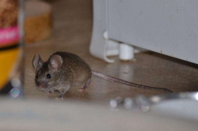 Как избавиться от мышей и крыс на участке - самый эффективный способ