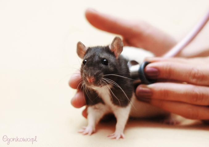 крысы у ветеринара