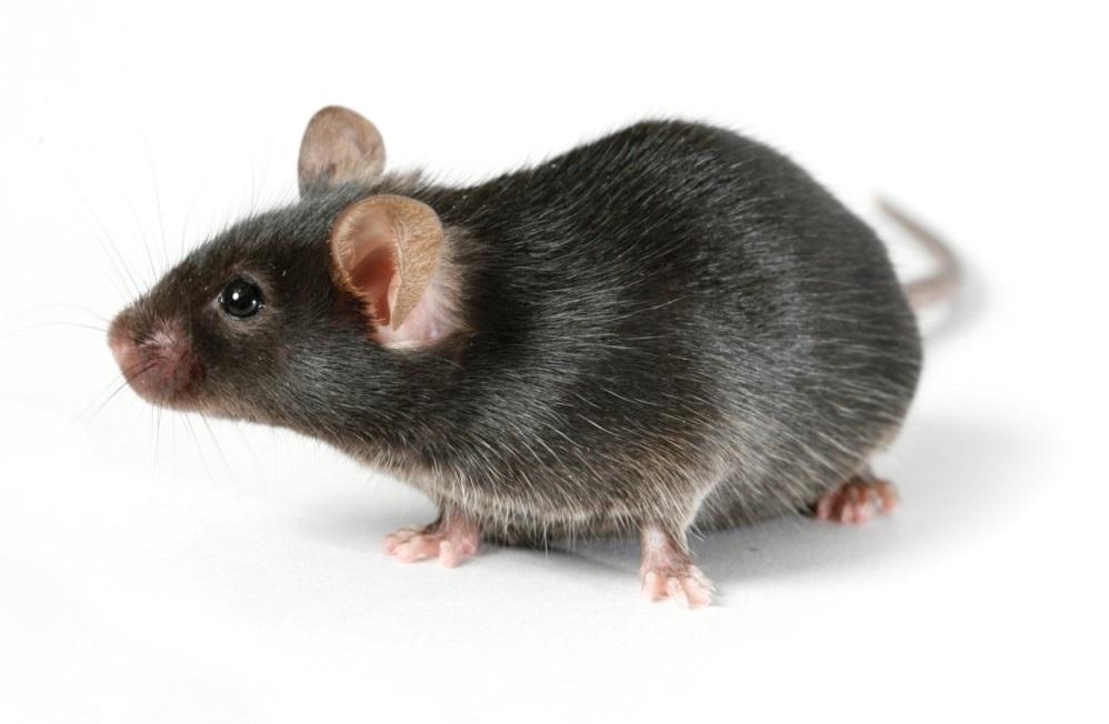 Любимое лакомство крота - мышь